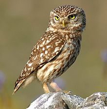 Owl on a Rock Image - Science for Kids All About Owls