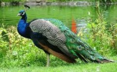 All About Peacocks – The Birds With Fanciest Clothing