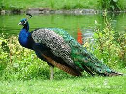 A Beautiful Peacock Standing by a Lake Image - Science for Kids All About Peacocks