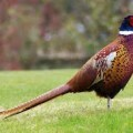 Pheasants Quiz