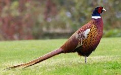 All About Pheasants – The Symbol of Good Luck