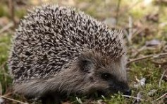 All About Porcupines – The Quill Pigs