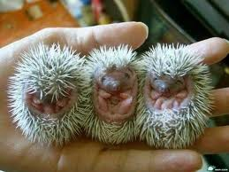 Three Small Baby Porcupine Image