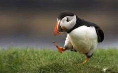 All About Puffins – The Fast Flyers and Expert Swimmers