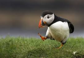 Puffins – The Fast Flyers and Expert Swimmers