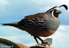 A Quail Perched on a Barrel Image - Science for Kids All About Quail