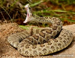 Rattlesnake Preparing to Release Venom Image - Science for Kids All About Rattlesnakes