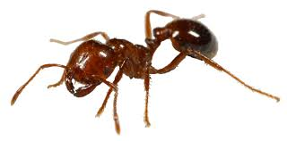 Red Fire Ant Image