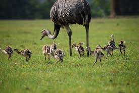 Male Rhea Watching its Babies Image