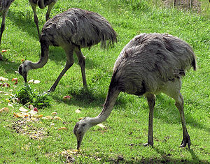Rheas – The Best Dads in the Animal Kingdom