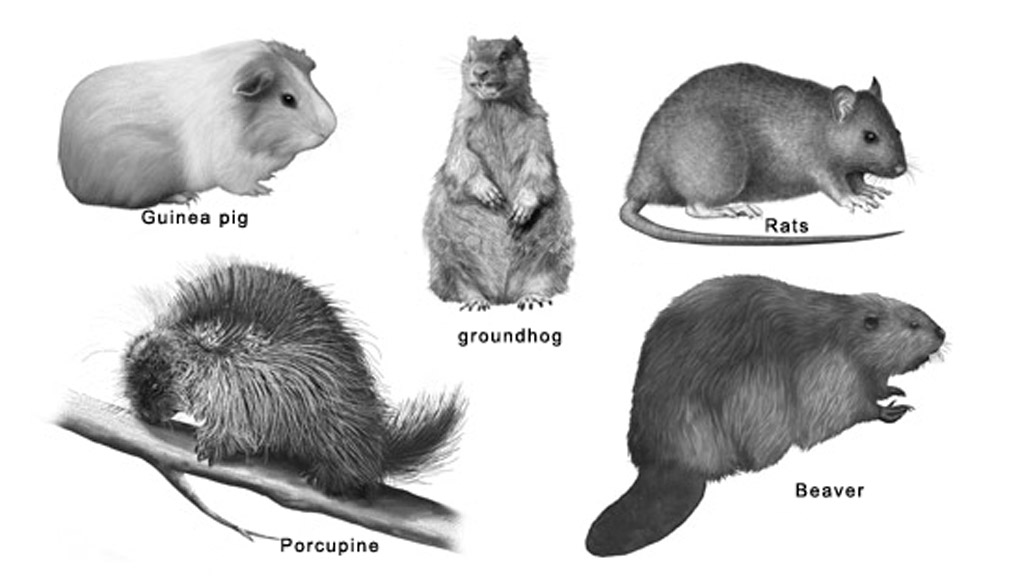Rodents – Their Different Types