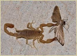 Scorpion Eating a Moth Image - Science for Kids All About Scorpions