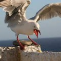 squawking-seagull image
