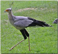Secretary Bird's Feather Coating Image - Science for Kids All About Secretary Birds