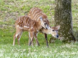 Sitatunga Eating Grass Image
