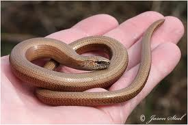 slow-worm-being-held image