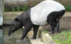 All About Tapirs – The Peaceful Herbivores and Their Types
