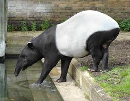 Tapir by the Water Image - Science for Kids All About Tapirs