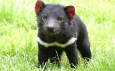 All About Tasmanian Devils – The Land Cleaners