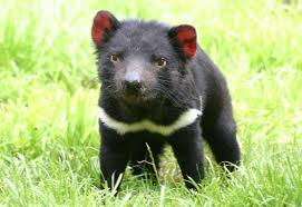 tasmanian-devil-on-grass image