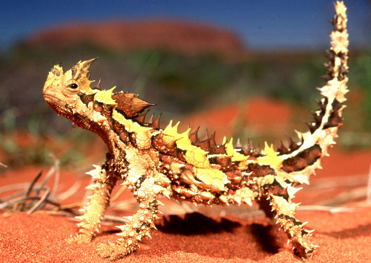 Fun Thorny Devils Quiz – FREE Interactive Science Quiz Questions for Kids