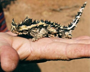 Small Thorny Devil Image