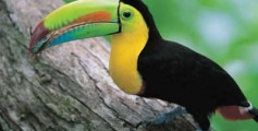 All About Toucans – The Birds With Long, Brightly Colored Bill