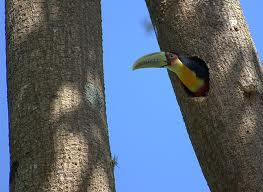 Toucan Inside a Tree Hole Image