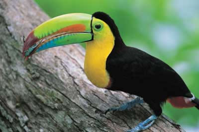 Toucan on a Tree Branch Image - Science for Kids All About Toucans