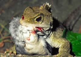 Tuatara Eating a Bird Image