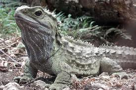 Tuatara Reptile Image - Science for Kids All About Tuataras