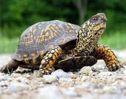 Tortoise Walking in the Desert Image - Science for Kids All About Turtles