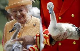 The UK Queen with her Mute Swans Image