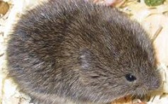 All About Voles – The Expert Tunnel Makers