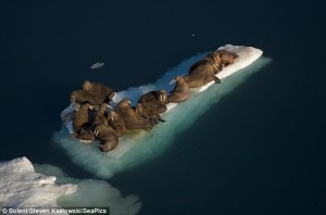 Walruses on Floating Ice Image