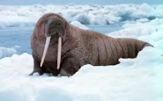 All About Walruses and How They Differ From Seals