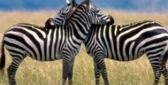 All About Zebras in Africa