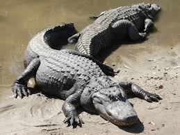 Alligators on Land Image