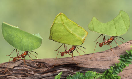Ants Carrying Leaves Image
