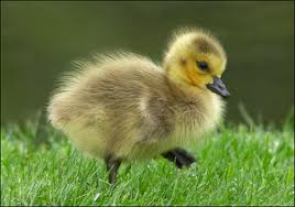A Baby Goose Image
