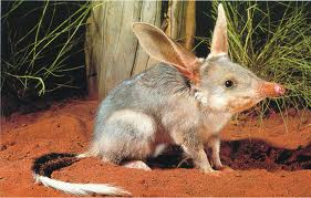 A Bilby Digging Image