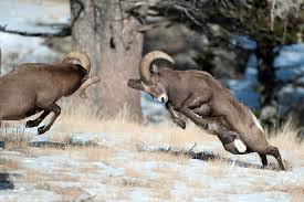 Two Bighorn Sheep Fighting Image