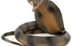 All About Cobras – The World's Largest Poisonous Snake