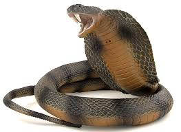 Cobras – The World's Largest Poisonous Snake