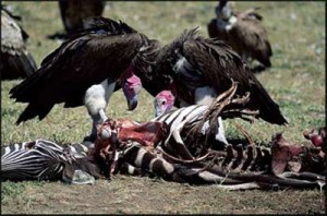 Buzzards Eating Dead Animals Image