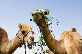 Camels Eating Plants Image