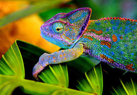 A Colorful Chameleon Image