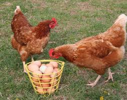 Chickens and their Eggs Image