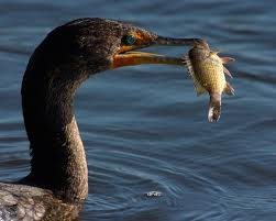 Cormorant Catching a Fish Image