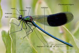 Body Parts of Damselflies Image